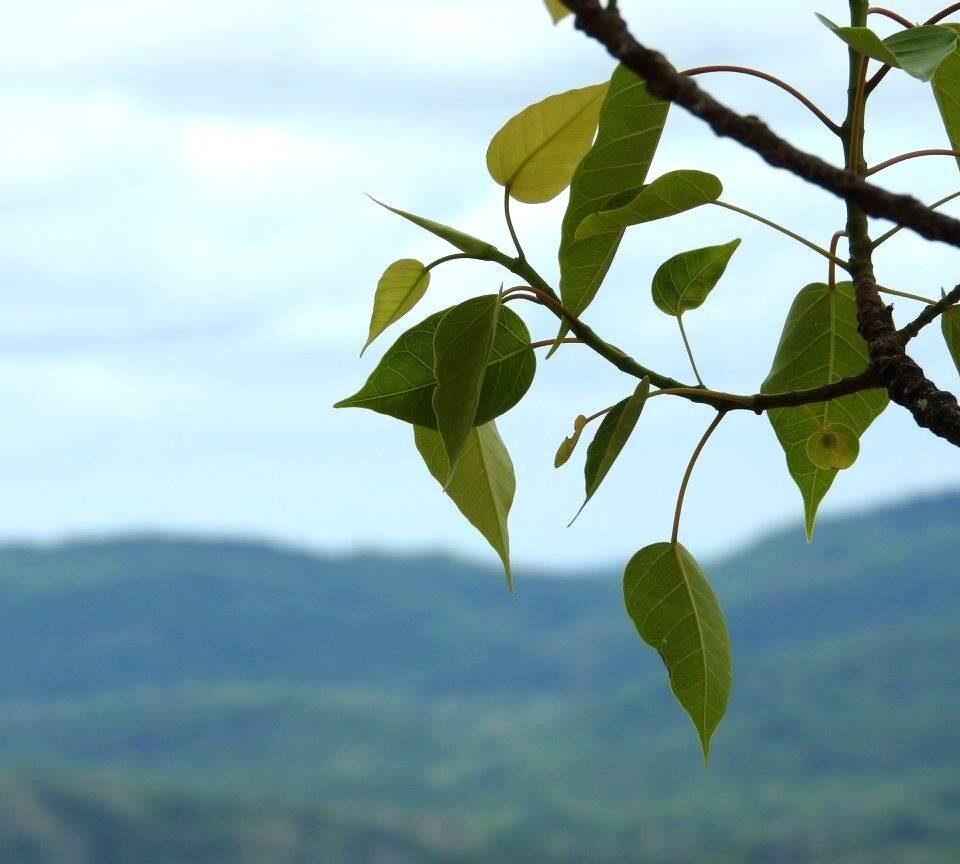 bo tree sigiriya